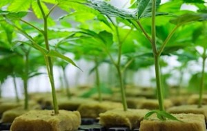 Over Reliance on Clones May Taint Cannabis