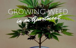 Growing Weed in an Apartment: The Do's and Don'ts