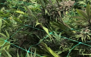 Sonoma County's 2018 cannabis harvest small, but better than last year